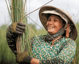 Thu hoạch cỏ bàng